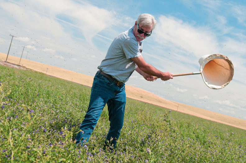 Entomologist Doug Walsh with a net in an alfalfa field