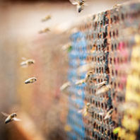 Leafcutter bees. Photo Zach Mazur