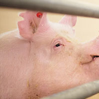 Genetically modified pig. Photo Luke Hollister