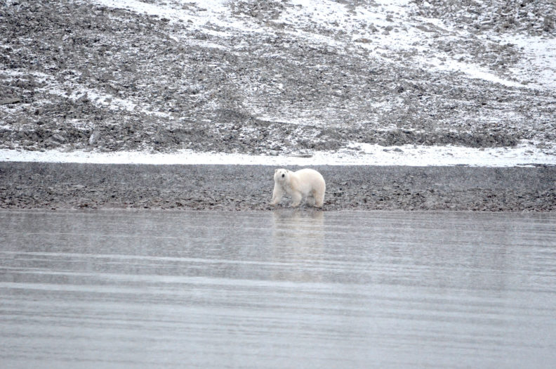 Polar bear on shore of Svalbard. Photo Debbie Lee