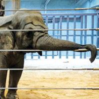 Elephant at National Zoo