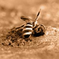 Alkali bee on bee bed