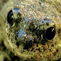 Spadefoot toad closeup