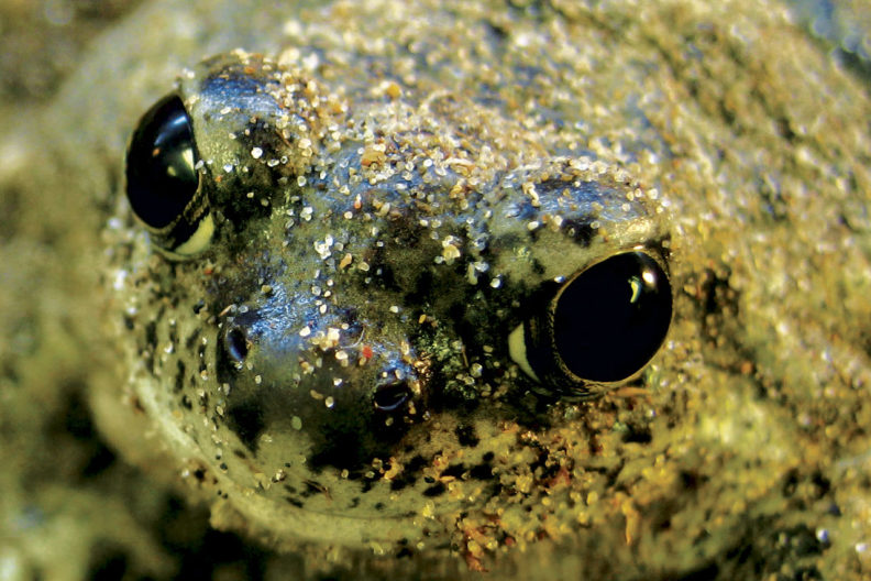 Close up of spadefoot toad
