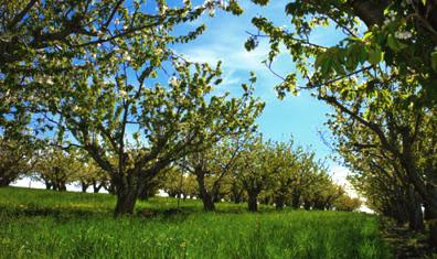 Cherry trees at Tukey Orchard