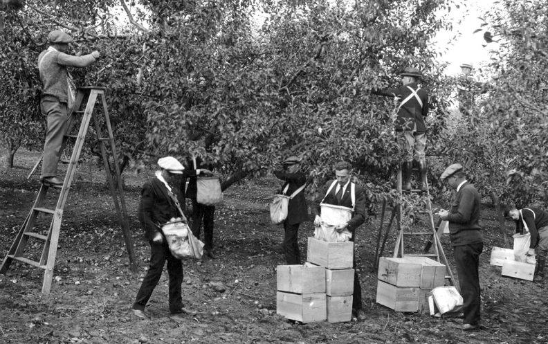 Picking apples in the Washington State College orchard in 1925