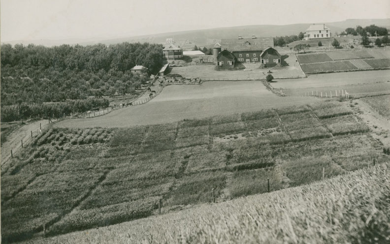 The Washington State College orchard at left in this 1910 photograph