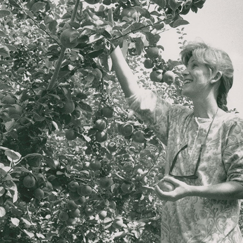 Woman picking apples at Tukey Orchard, 1992