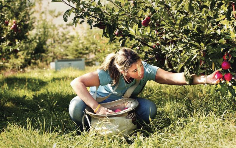 Student picking apples
