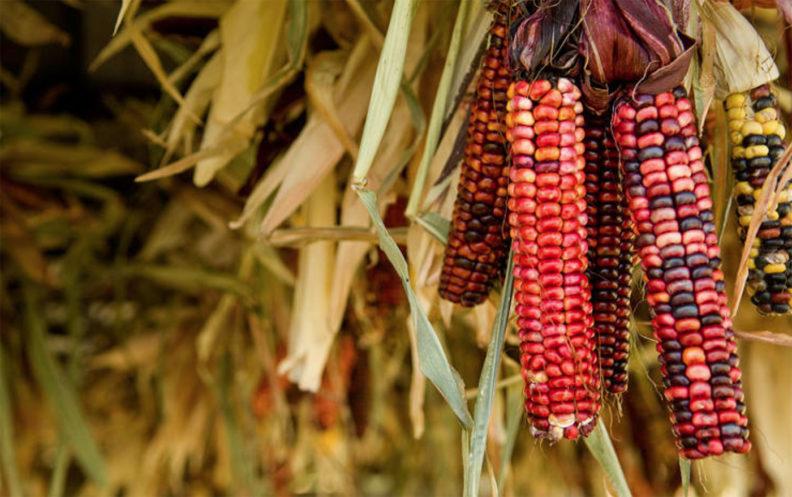 Red corn at WSU