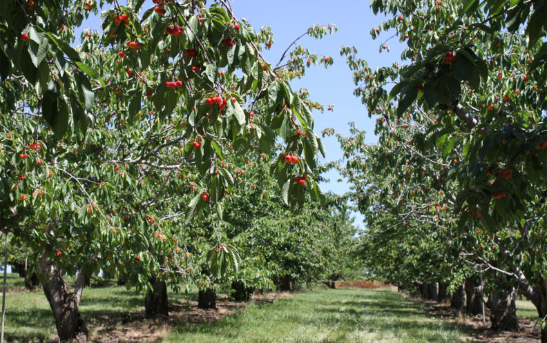Apple trees at Tukey Orchard