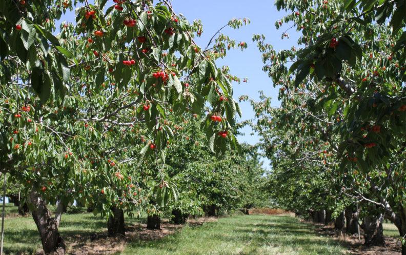 Apple trees at Tukey Orchard