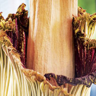 A rare titan arum corpse flower blooms at WSU Vancouver. (Photo Laura Dutelle)