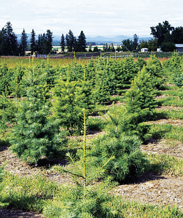 Christmas trees grow at Veley Farm