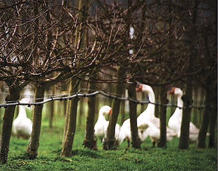 Geese walk around apple trees at Finnriver Farm and Cidery