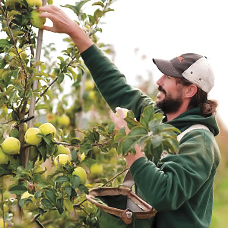 Cameron Denning at Finnriver Farm and Cidery picking apples.
