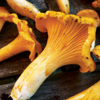 Wild golden Pacific chanterelles on wood