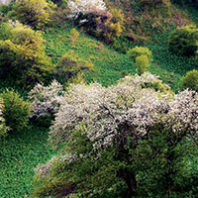 Wild apple trees blooming in Kazakhstan