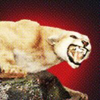 Cougar snarling