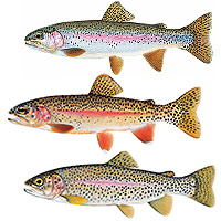various trout illustrations by Joseph Tomelleri