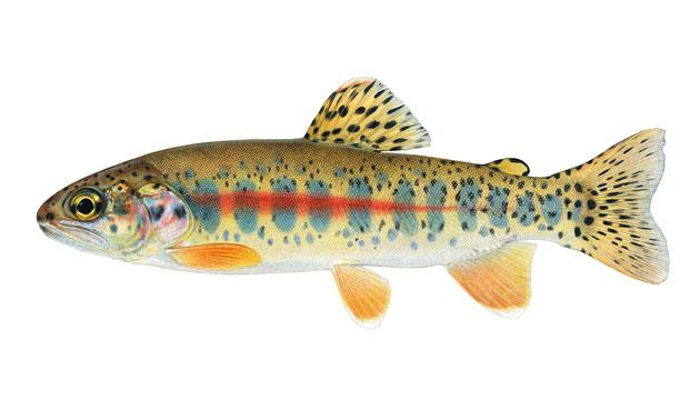 trout illustration by Joseph Tomelleri