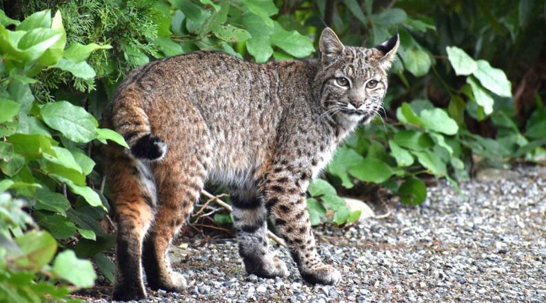 Bobcat on a gravel path