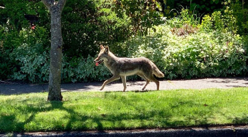 Coyote wanders along a Seattle sidewalk