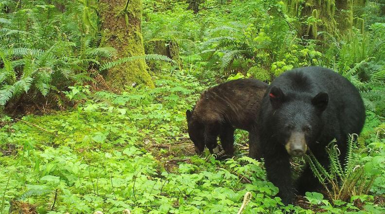 Black bears foraging in woods