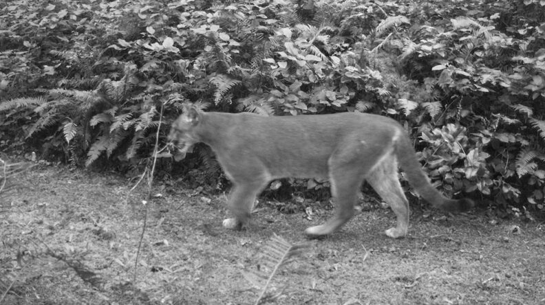 Cougar on Indian Island Naval Reserve