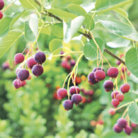Saskatoon berries. Amelanchier tree branch