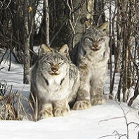 Two lynxes in a snowy forest