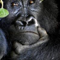Silverback Gorilla in Virunga National Park