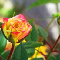 Vibrant Rosebud
